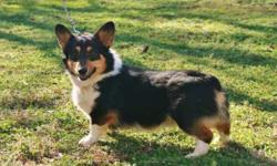 AKC Pembroke Welsh Corgi, Adult, Male, $400 EA, Blk Tri colored, Born 11-20-2010, tail docked & dew claws removed. Current Worming & Shots, Health Guarantee, Nationwide Airline Shipping available $350