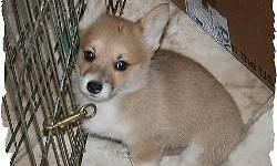 Awesome AKC Pembroke Welsh Corgi puppies for adoption. They are very sweet and will make a loyal and true friend. They have been well bred and will grow up to be beautiful dogs . Sunshine is a calming