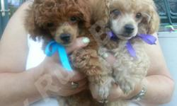 Absolutely Beautiful Tiny Red Toy Poodle Male Puppy, and Small Apricot Male Toy Poodle as well. Both are very lovable, funny and oh so cute! SuMac is the smallest puppy I have ever had, and he is ador