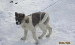 Beautiful male Akita puppy for sale. Almost house trained. Inside/outside dog. Loves the snow. AKC Registered with 4 generation pedigree. Fawn/White with Black/White mask. Loves children. Must go to g