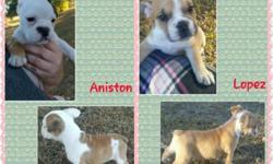 Akc reg. English bulldog puppies. Champion bloodlines. Mom weighs 37lbs and dad weighs 45lbs. So will be mini. I have 2 females and 3 males available! Have had their 1st set of puppy boosters, deworme
