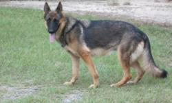 Both parents are Akc reg. So will the puppies be. I will be having them sometime in Nov. Black/red and black/tan. Dam 70Ibs and Sire 105Ibs. These will be big pups!:) Great for protection, guarding or