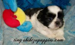 SHIH TZU puppies will win the hearts of everyone with thier playful, gentle loving personality. A gorgeous party hair coat. Expressive eyes in a great little face. Solid structure and well proportione