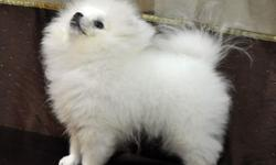 We have an Adorable male Pomeranian puppy by name ( MAX ) is still available. he has his first shots and is wormed. This little boy  has been raised in the house with his parents. he has been handl