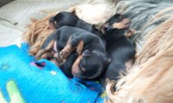 Yorkie puppys for sale .Call for imformation 208-403-9566 // //]]> Location: Rexburg Idaho