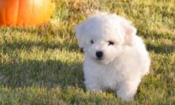 White River Bichons Champion Bloodlines! AKC Registered! Show Potential! 4 boys ($1,850.00 each) 1 Girl ($1,950.00) Available on November 22nd. They will have the perfect level of cuteness and persona