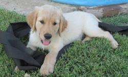 We have 2 male golden retriever puppies for sale. They were born 6/14/15 and have already had their first round of parvo shots. Both parents are AKC registered and puppies will come with registeration