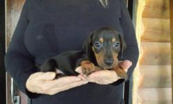 This puppy was born on Sept. 4, 2015. . He can be picked up now. He is eight weeks old. .He gets along well with children and other dogs.. He has a black & tan short hair coat. He's a miniature dachsh