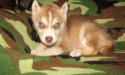 2 Male AKC registered Siberian husky puppies. they are up to date on their shots and have had their dew claws removed. One has two blue eyes and one has one blue and one brown eye. They were born on 0