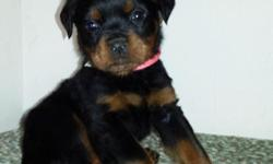 I am helping a friend find her pups homes. She has AKC registered rottweiler puppies for sale with FULL registration. 5 males, 2 females Sire is 120lbs of pure muscle, hips/elbows good. Outstanding te