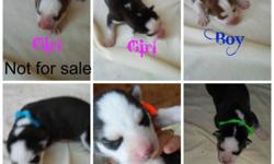 We had our newest litter of Siberian husky puppies on Halloween. At this time we are now taking deposits to hold pups of your choice till they are ready to go. These babies will be ready for Christmas