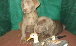 they are AKC registered they have there first shots State Health Certificate Fully Wormed Puppy Packet Silver Labrador litter born on Sept 6 2015 Both parents are on premises ONLY 2 BOYS LEFT VISIT MY