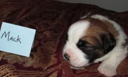 Mack, Saint Bernard Male pup for sale Mack is going to be a big St. Bernard AKC papered full bred Born June 5, 2015 and will be ready for adoption on July 17, 2015 Puppies will have 6 week check, firs