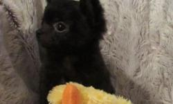 AKC Tiny Fonze, is a beautiful black reverse brindled tiny baby boy(with fawn brindling). He doesn't have a lot of brindling, but it will probably come out more as he gets older. Fonze is very sweet,