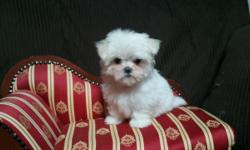Tiny, Teacup Maltese baby girl. Big eyes, Babydoll face & short, short muzzle. Highly desirable Beautiful Maltese. Should grow to be 4lbs or LESS as an adult. AKC papers, Champion backround parents. V