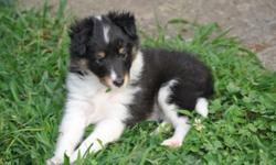 Asher- AKC Tri color Sheltie (Male) This little Tri Sheltie will melt your heart, he is the first one to come running to you when he sees you. Stormie, our Blue Merle had her litter of 5 healthy Shelt