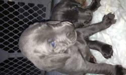 We have family raised 4 generation AKC registered weimaraner puppies, 5 silver males, 1 blue female, born 09-16-2013. Mother and father are on site and are our pets. Puppies are handled daily and lovi