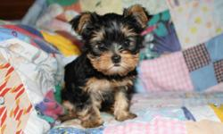 I have two Yorkshire terrier puppies for sale. I have one little girl born September 6, and a little boy born August 20. The mother of the little girl is a 5.5lb traditional female with champion lines