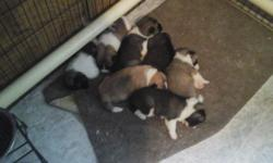 Akita puppies Purebred American Akita puppies. 3 Males, 4 Females...Born on August 29th. Will be ready for their new homes on October 24th at 8wks old. They will have 1st shots at 6wks, dewormed 3x, m