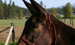 15 year old molly mule, stands 15.2 hands, weighs 1200 pounds, she has an excellent back, easy to be around, and gentle. She has packed deer, bear, salt, and supplies. We are asking $800.00 OBO Please