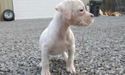 3 female American Bulldog Puppies available. This is one of them. Born September 1st, and 8 weeks old in pics. Sire: Chief, and the Dam is Lady Liberty, here at Emerald City American Bulldogs. Up to d