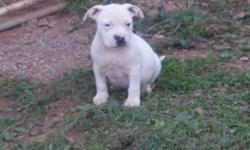 I have 3 males American bully puppies they are 7 weeks old, ABKC registered ,papers in hand and 1st shots an worming?