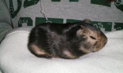 We have meny American Guinea Pigs for sale. We have both males and females available. They are really cute and will make a great pets for anyone, they is $15.00 each. Guinea pigs are small enough that