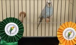 It is not too often that show quality American Parakeets are available. These are not english budgies so they do not compete against english budgies they are american keets. They compete against other