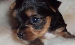 """""""Travis"""" is 4 weeks and is full of Joy, he hops around with his litter mates and it is great fun to watch. Travis's mom is Lexie, she is an AKC Reg. Golden Yorkshire Terrier with a great personality a"""