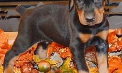 Anubis is a black/rust male by Jr. World Winner Semper Fidelis Im In Charge CGC and Int.CH. Defender of Bulgaria Celeste BN, CGC. Both parents are imported and Champion sired as well as fully health t