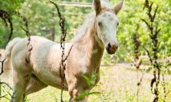 Appaloosa - Blue Sky - Medium - Young - Female - Horse Blue Sky was born at DHR on Memorial Day of 2012. Her dam, Sierra, is an Appaloosa and her sire, Blue, is a Welsh Pony. Sky has been handled regu