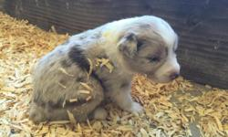 We have a litter of 8 adorable standard Australian Shepherd puppies! Registered with ASDR ( American Stockdog Registry) and also eligible for registry through AKC and ASCA. They were born September 25