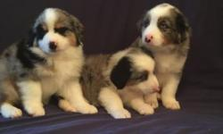 3 Beautiful Blue Merle Males! Standard size Australian Shepherd Puppies! . AKC Full Breeding rights. Two Crystal Blue Eyes, White Collar and Four White Feet. Wonderful disposition, Intelligent and Ver