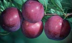 QUINCY: 850-228-6099 John and in TALLAHASSEE: 850-591-2100 Lynn ***Best planted Spring or Summer White Sapote $10.00 to $30.00 Avocado $25.00 - Gainesville, Mexicola Grande, Mexicola, Winter Mexican,
