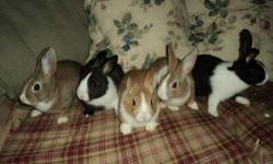 Dwarfs Hi The bunnies are still available. They are ready to go to their forever homes. They are eating and drinking in their own. We hold and play w them all the time so they are extremely friendly.