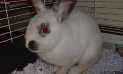 We have some adorable baby bunnies! They are VERY SWEET AND JUST TOO CUTE! We have Mini Rex,Siamese, and Dwarf baby bunnies that are ready for a new home this week. We also have a New Zealand and Dwar