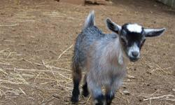 I have 6 baby goats for sale. Taking deposits now for when they are weaned on 6/15/2013. They are Nigerian Dwarf & African Pygmy cross. I have 2 girls & 4 boys. The boys can be banded if you want a we