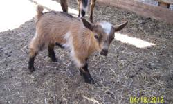 One Doe-$200 for sale. Born March 13th. These goats do not get very big at all. Mom is 21 inches tall. The babies were 8 1/2 inches tall when born. 575-309-9821 She is eating hay and grain very well.
