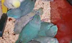 Beautiful baby parrotlets for sale starting at $125 and up depending on color and mutation, shipping is available, please email me with your number so we can talk thanks.