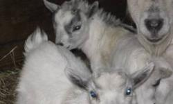 We have four adorable sweet pygmy goats for sale. Perfect for 4-H projects. Born Jan 27th 2012 Very Tame Dehorned, all males can be neutered for free before they leave premises 419-933-4231 Location: