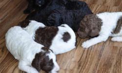 Back to the future puppies! Home raised. 1 brown and white parti male, 1 black male with white spot on chest. 2 brown and white parti females and 3 solid black females. Meet Marty Mcfly, Doc, Lorraine