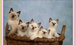 COZY UP TO A BEAUTIFUL BALINESE BABY! With a Life span of 20 years of Sheer Love , Filling your life with Comfort and abounding JOY! Our Siamese kittens & Balinese Beauties are a rare type of Purebred