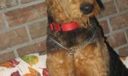 LOOKING FOR A BEAUTIFUL - LOVING - HAPPY - HEALTHY - OUTGOING - MALE AIREDALE PUPPY ? ... COME SEE this HANDSOME FELLA. This Puppy has Classic Style ... Is Quality bred .. with Beautiful Rich Copper F