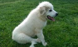 Beautiful male Great Pyrenees puppy for sale. Born January 15, 2015. He is friendly and obedient. Purebred and AKC registered. He is good with other dogs and cats. Would make a great pet or breeder. S