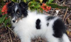 Missy is a beautiful 12 week old Sheltie puppy. She is energetic and playful, with a love of climbing and jumping. Missy is a tri-color headed white who will probably end up about 14 - 15 inches in si
