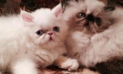 """Sugar and Spice"" are two beautiful female kittens and ready to go NOW to their new homes. These girls are very spoiled and wonderful lap kitties. Mega Grand Champion pedigree, mom is already a Champi"