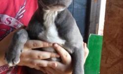 11 week old blue nose pitbull puppies. Three females and one male left. Call or text for more info.