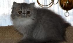 Beautiful Blue Tabby Female Persian Kitten. CFA cat Fancier Association registered. She is 11 weeks old. Grand Champion lines from both parents' side. She is very playful and friendly. She is fully va