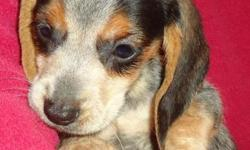 Bluetick beagle walker coonhound mix puppies ready now for sale in