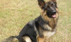 Beautiful German Shepherd AKC plush coat Black and Tan Fm 1 1/2 yrs old. LOW ENERGY CALM GIRL : ) VERY LOVING OBEDIENT AND GENTLE WITH CHILDREN AND ADULTS! Would be even a great companion for an older